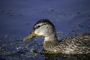 DuckInWater